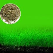 Grassamen S ähnlich wie Nadelsimse