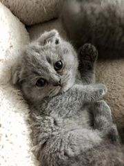 Scottish Fold Kitten nur noch