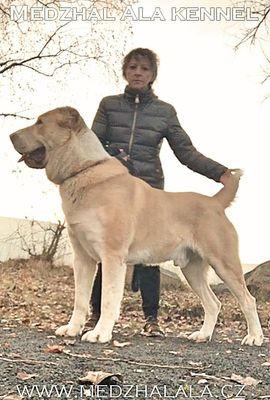 Zentralasiatischer Owtscharka Mittelasiatischer Owt Alabai -: Kleinanzeigen aus Liberec - Rubrik Hunde