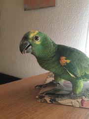 Papagei Amazone