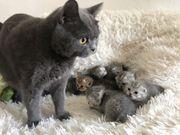 Traumhafte BKH Scottish Fold Kitten