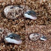 Leopardgecko Eier aus meiner Hobbyzucht