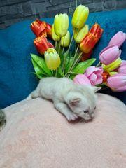 Wünsche Bengal Kitten