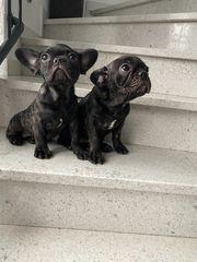 Französische Bulldoggen Welpen suchen ein
