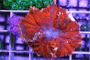 Korallen Ableger Meerwasser LPS SPS