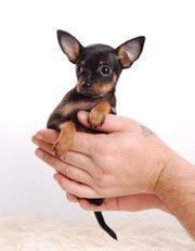 Kleinbleibende Hunde Russkiy Toy Toy