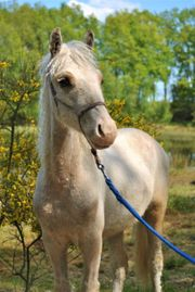 Sportliche Junges Curly Pony s