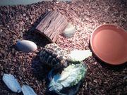 Verkaufe Weibliche Griechische Landschildkröte