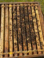 Bienen Völker auf Zadant