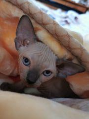 Canadian Sphynx Kitten m Stammbaum