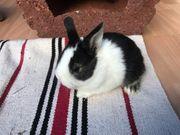 Zwerg-Widder-Mix Kaninchen Babys