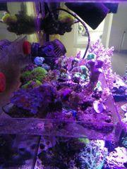 meerwasser korallen weichkorallen lps sps