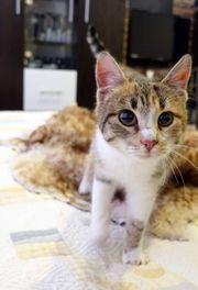 süße menschenbezogene Tricolour Katze sucht