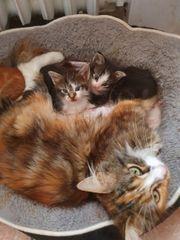 maine-coon mix kitten