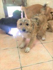 Süße kleine Venja Terrier Mischlingswelpe