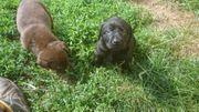 Traumhaft schöne Labradorwelpen in schwarz