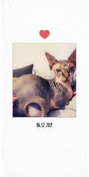 Can Sphynx Katze