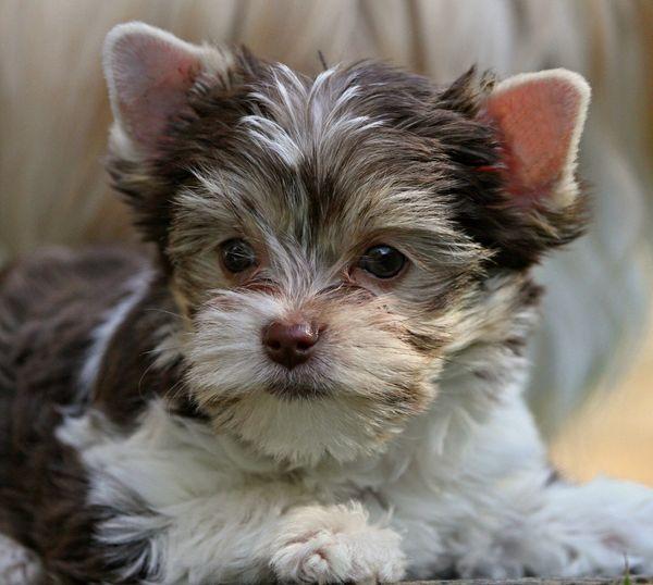 Kleinbleibende hübsche Biro Yorkshire Terrier