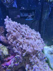 Meerwasser Koralle pumpende Xenia