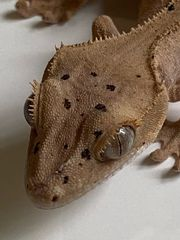 Correlophus ciliatus Kronengecko