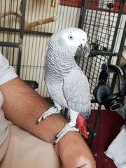 Monat alter Papagei des afrikanischen