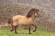 Islandpferd Valgra von den Reutwiesen