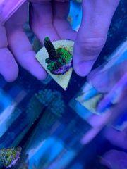 Meerwasser Aquarium Koralle Acropora Millepora