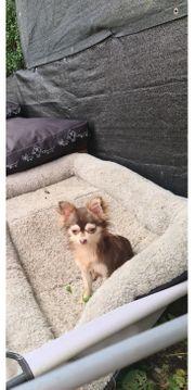 Chihuahua w in Sonderfarbe Husky