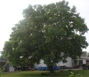 Braucht ihr Walnussbaum mal wieder