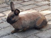 Wunderschöne Thüringer Kaninchen-Dame
