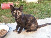 Schildpatt Kitte Opal 4 Monate