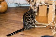 Abgabebereite Bengal Kitten aus seriöser