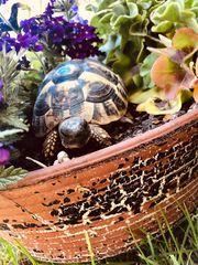 Griechische Landschildkröten aus 2017