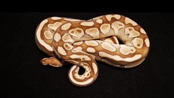 1. 0 Lesser het Caramel Albino