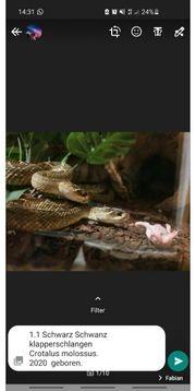 Schlangen zu Verkauf