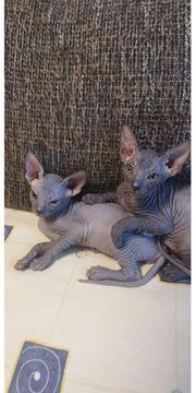 5 Don Sphynx Kätzchen