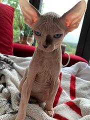Sphynx Baby Katze Kater
