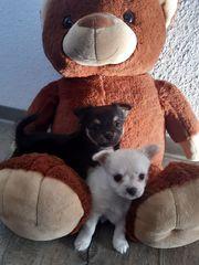 Reinrassige Langhaar Chihuahua