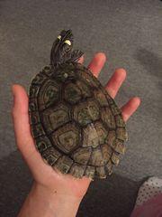 Zutrauliche Höckerschildkröte sucht liebevolles Zuhause