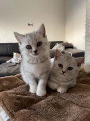 BKH Kätzchen Weibchen Abgabebereit