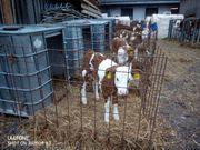 Verkaufe fortlaufend Fleckvieh Kälber Rinder