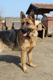 Bella sucht eine hundeerfahrene Familie