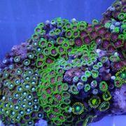 Korallen Paket mit 20 Ablegern