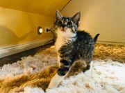 Wunderschöne getigerte Kitten Katzenbabys ab
