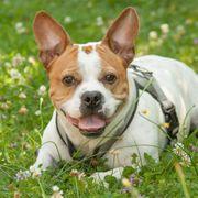 Hucki -Französische Bulldoggen-Jack Russel-Mix - 4 Jahre