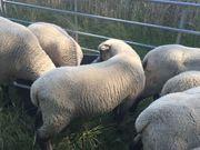 Shropshire-Bock Lamm