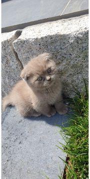 Reinrassige BHK Kitten