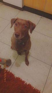 Labrador mix Hündin sucht neues