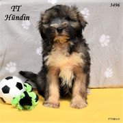 3 Tibet Terrier Welpen in