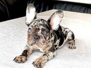 französische Bulldogge Welpen Lilac tan